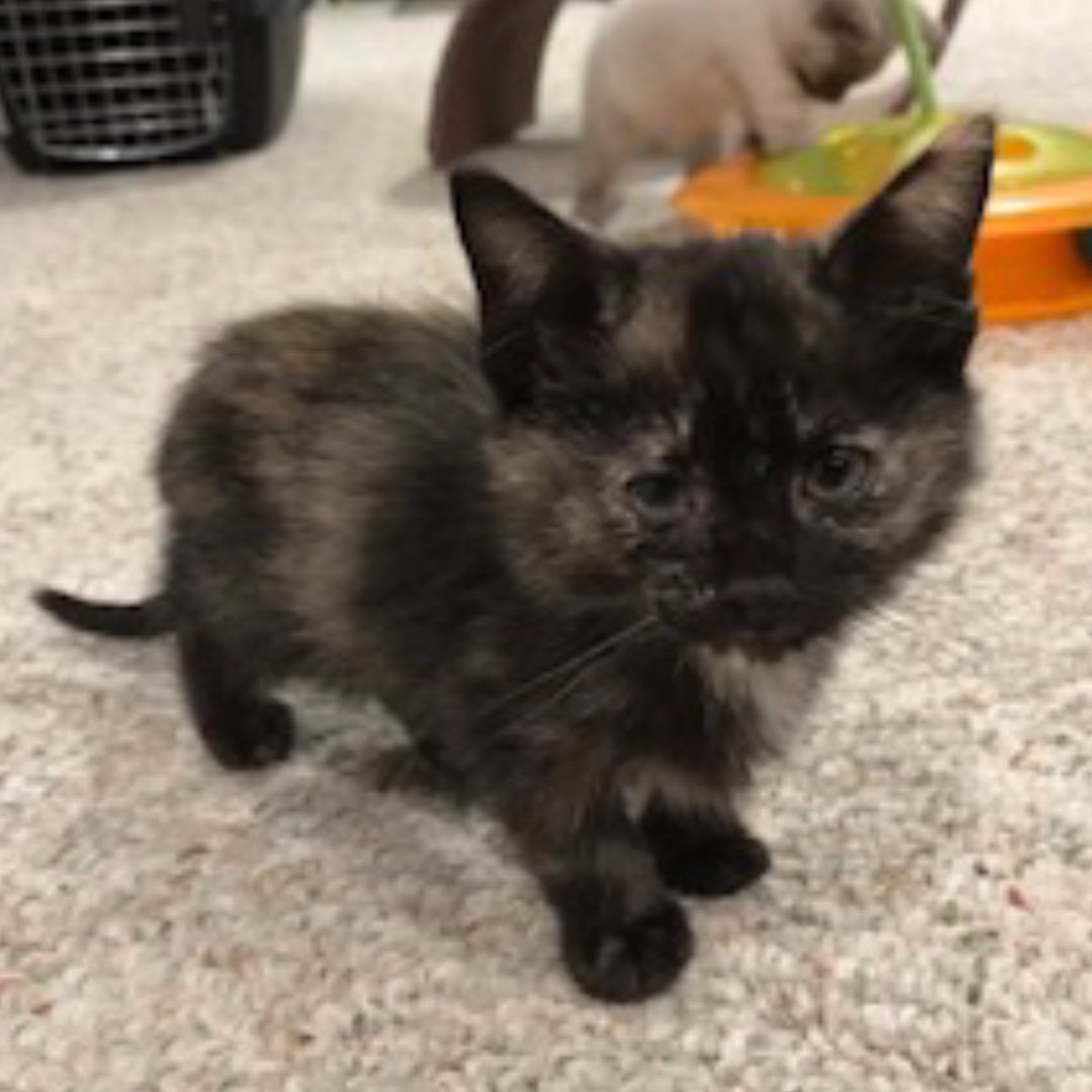 I'm 2m/o Selene, & I'm a quiet girl, so far. I haven't even meowed, yet. I like to observe all that's going on around me. If you like to sit back & take in life, we could be a purr-fect pair! We could find out if you'd apply at http://WAALrescue.org/adopt!  #WAALrescue #Kitten #Adopt