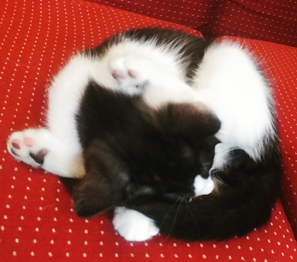 """""""She fell asleep like this"""" ♻️ A retweet would mean a lot ♻️ Source: https://ift.tt/2Oj8Zyy #kitten #CatsOfTwitter"""