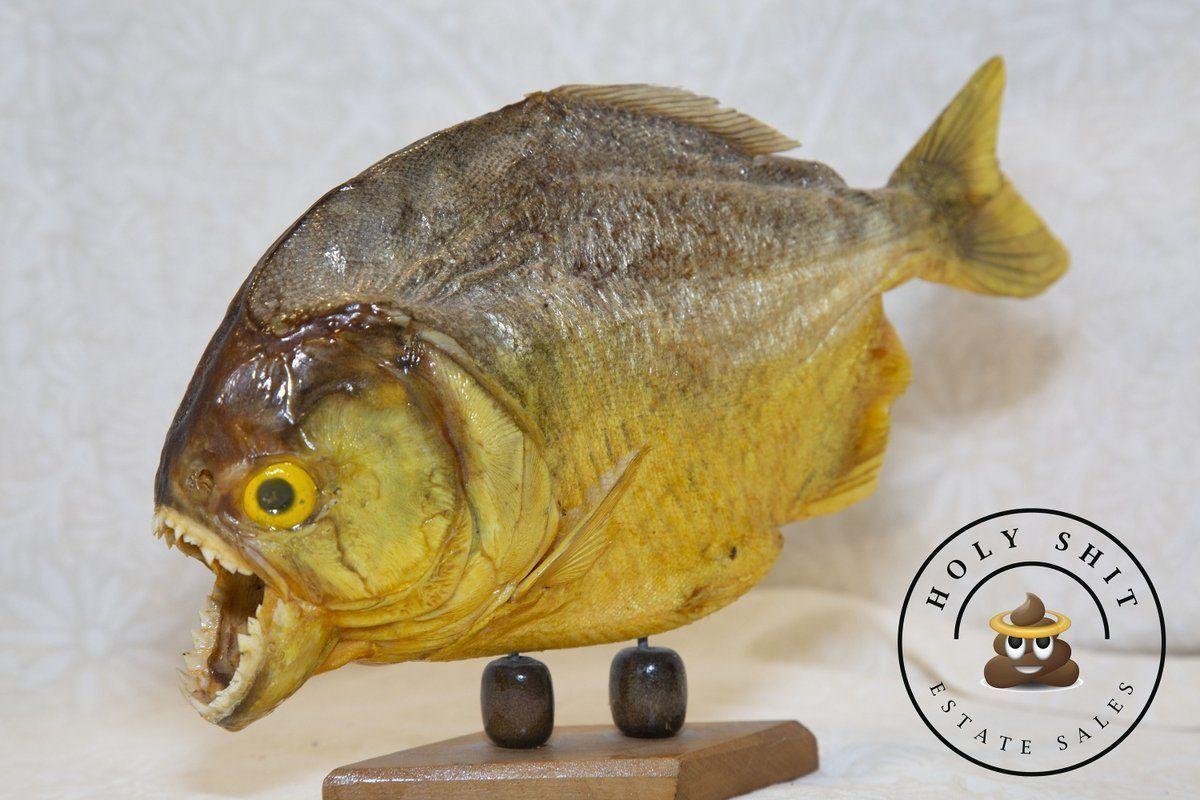 #etsyshop: PIRAHNA!! Vintage Taxidermy Pirahna on Wooden Stand. Free Shipping! https://buff.ly/2Ul9KtT #housewares #homedecor #birthday #fathersday #entryway #vintage #pirahna #taxidermy #fish https://buff.ly/2IzqqH1