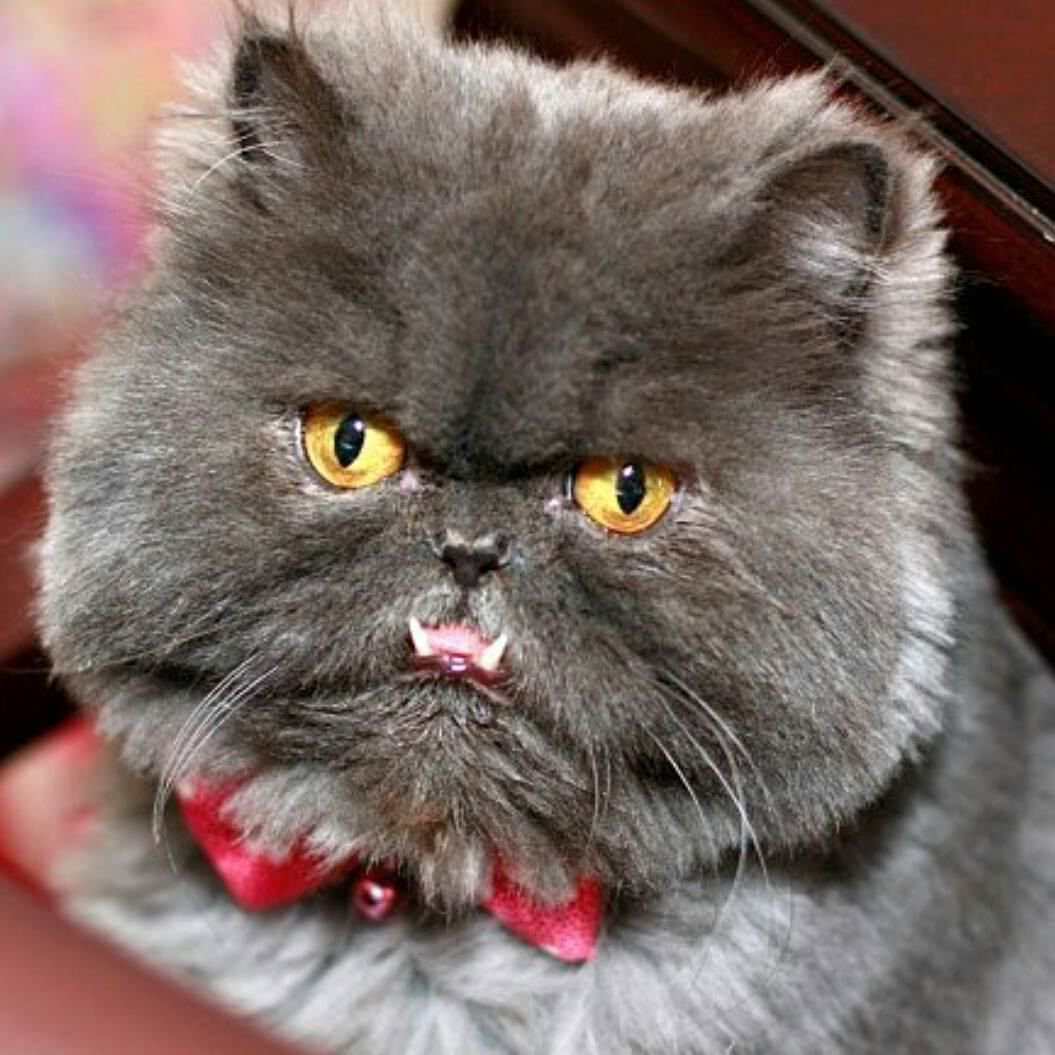 Grumpy mode on ...   #Cats #Cat #Kittens #Kitten #Kitty #Pets #Pet #Meow #Moe #CuteCats #CuteCat #CuteKittens #CuteKitten #MeowMoe   https://www.meowmoe.com/413207/grumpy-mode-on-57/…   .