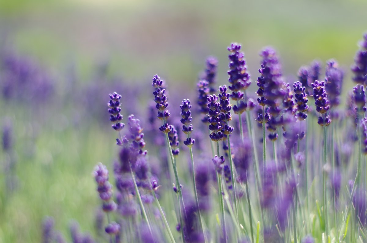 "The 18th Annual San Juan Island #LavenderFestival is officially a wrap! If you couldn't make it this weekend, the #lavender is still here, still in full bloom, and our gates are still open! You can still come see them at their ""peak of purpleness"" anytime in the next 4-5 weeks."