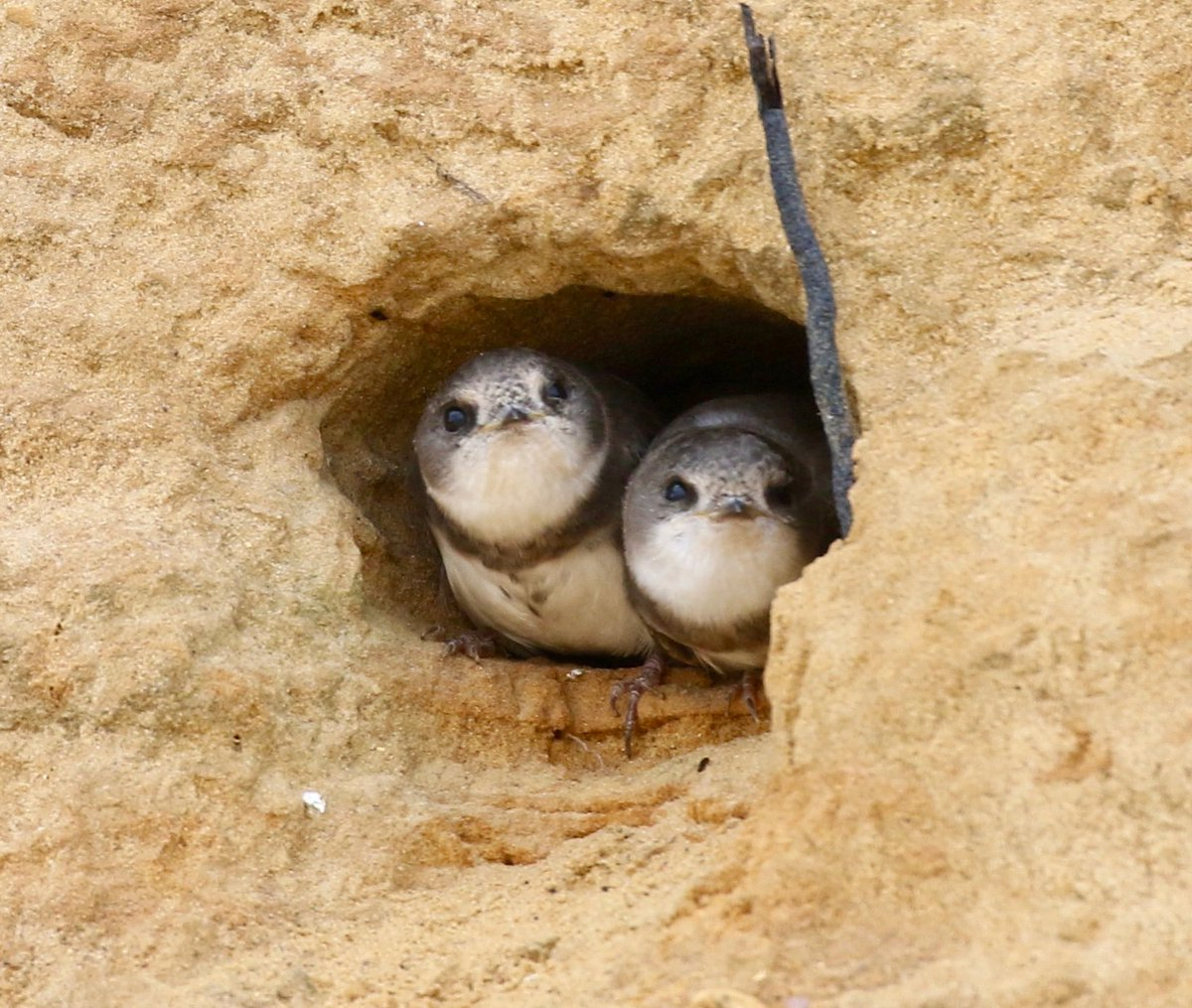 I love our garden birds but I also love the #SaveTheBactonSandMartins Help ensure their future & sign our petition  https://www. change.org/p/north-norfol k-district-council-help-secure-the-future-of-the-savethebactonsandmartins/exp/cl_/bandit-starter_cl_share_content_en-gb/v2/473644210?utm_content=bandit-starter_cl_share_content_en-gb%3Av2&recruited_by_id=1c0d54e0-c20c-11e5-aaf4-2bc0922b8ac4&recruiter=473644210&utm_source=share_petition&utm_medium=copylink&utm_campaign=share_petition&utm_term=share_petition  …  #mondaythoughts <br>http://pic.twitter.com/SA16wkPIc4