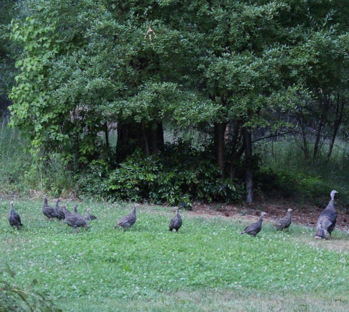 Great wild #turkey mom with all ten poults  #wildlife<br>http://pic.twitter.com/VipQwUuq8Q
