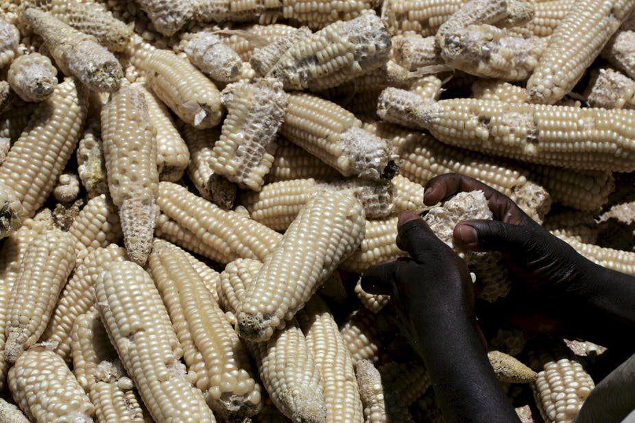 Understanding the political economy of #Maize in #Kenya: https://bizcom.to/1/458w by Timothy Njagi Njeru via @Biz_Agriculture #KenyaFarmers #MaizeProduction pic.twitter.com/Kwm8FU3n0d