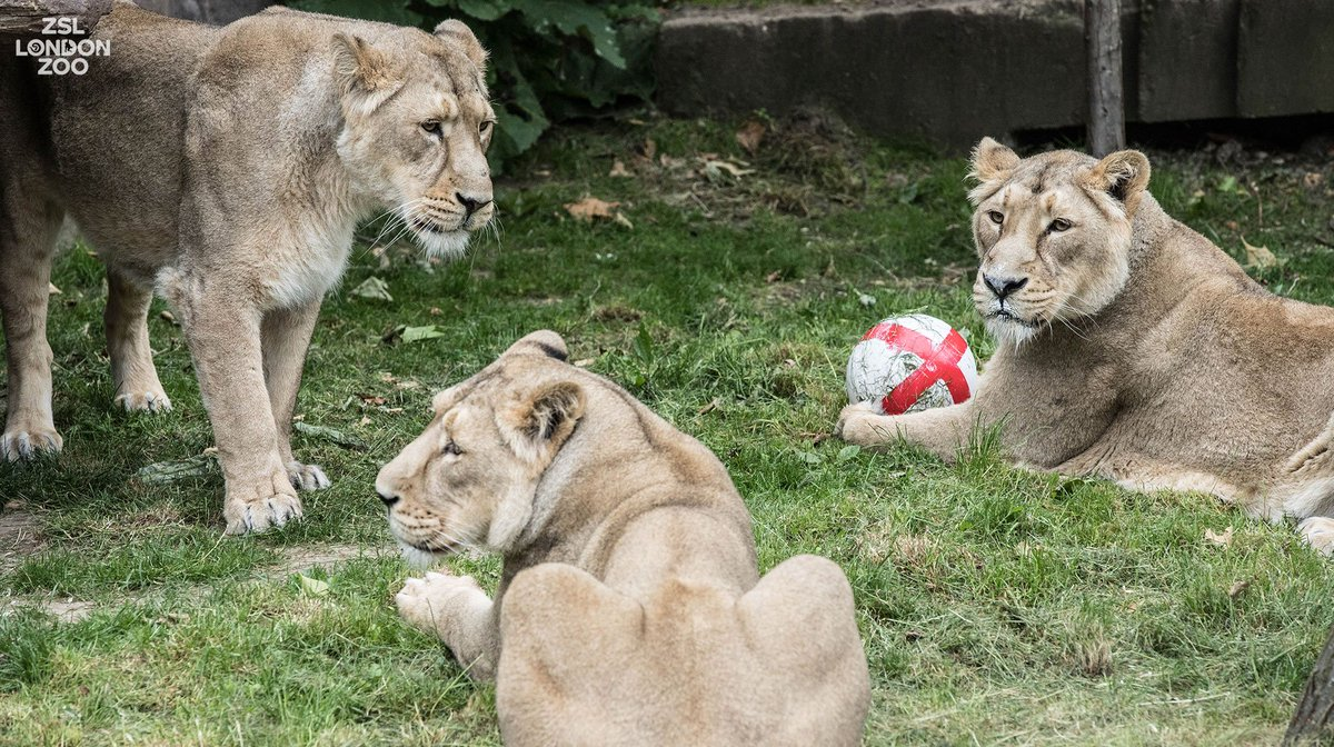 From all of us here at @zsllondonzoo , including our three lady lions, a roaring Happy Birthday to Prince George @KensingtonRoyal    #TheLionKing  #ThreeLions<br>http://pic.twitter.com/RaLGOmu25S