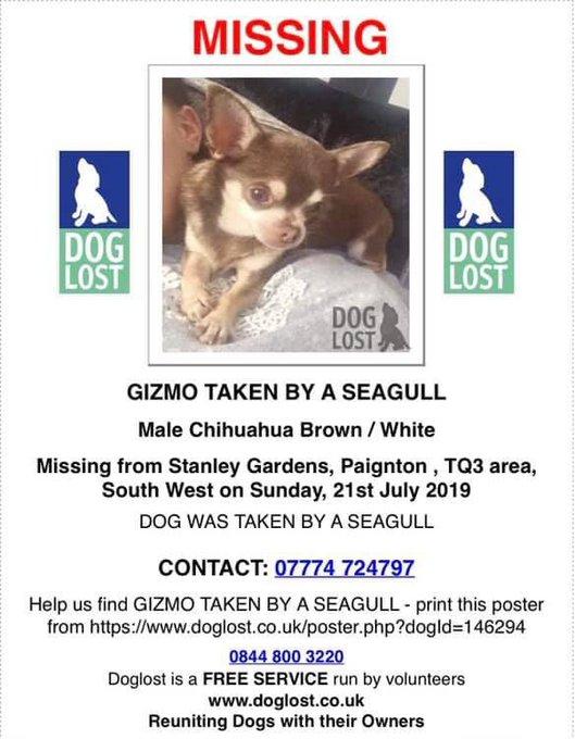 Un chihuahua enlevé par une mouette en Angleterre EAFFNkkW4AEE40u?format=jpg&name=small