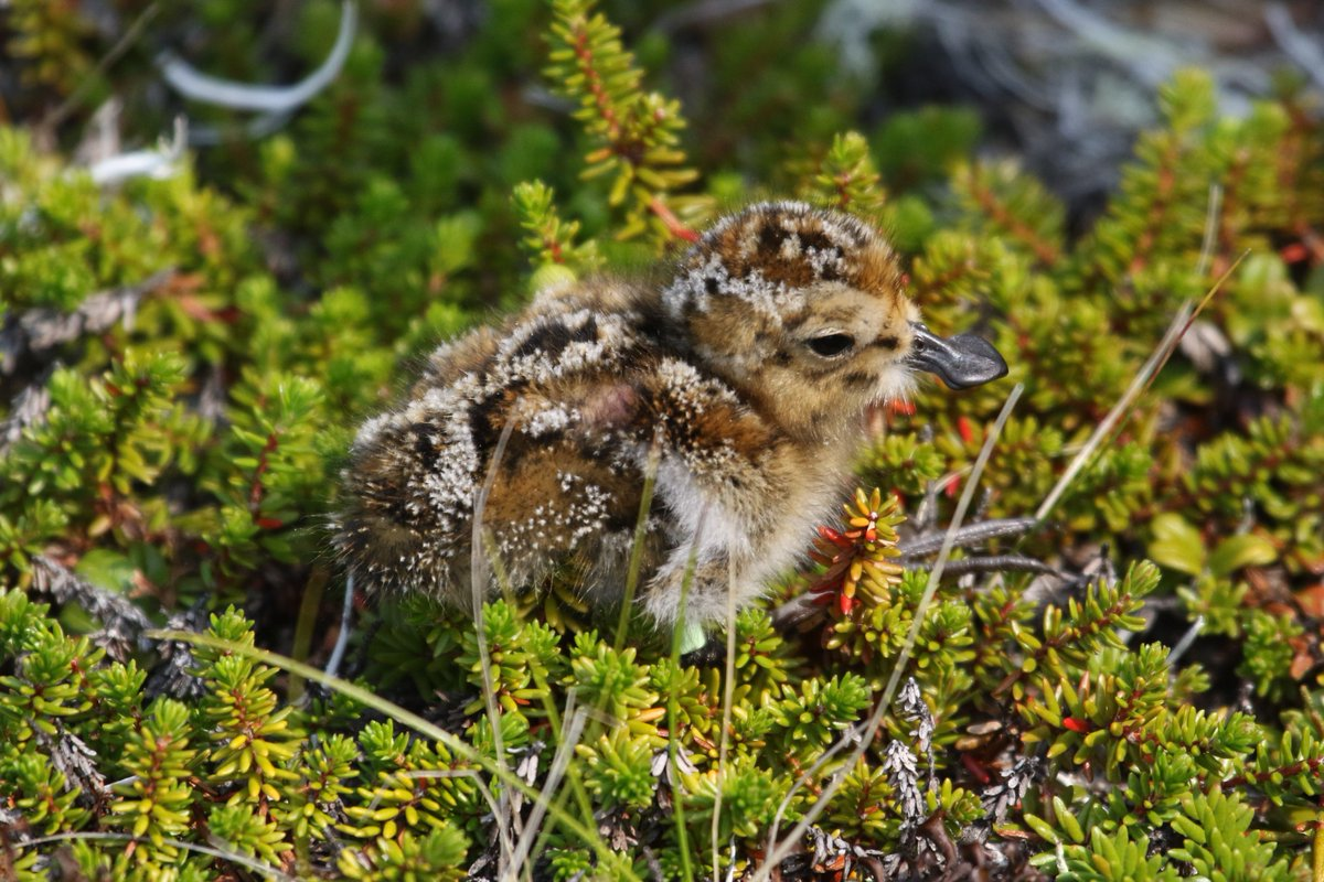 In 4 weeks, this spoon-billed sandpiper chick (now 2-3 days old) will start the ~8,500 km trip to southeast Asia. If, of course, it can avoid ground squirrels, jaegers, foxes, ravens, & other predators here in Chukotka until then. Godspeed little doodle. #BeringianStronghold