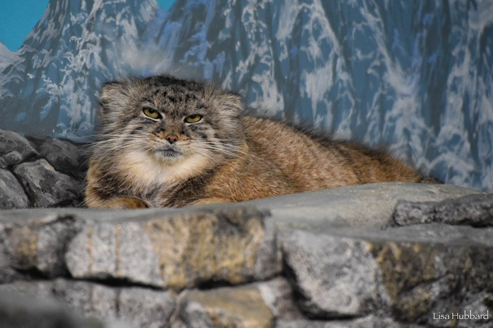 Pallas's cat with a case of the Mondays.  #MondayMood<br>http://pic.twitter.com/Pr8f6tlzpI
