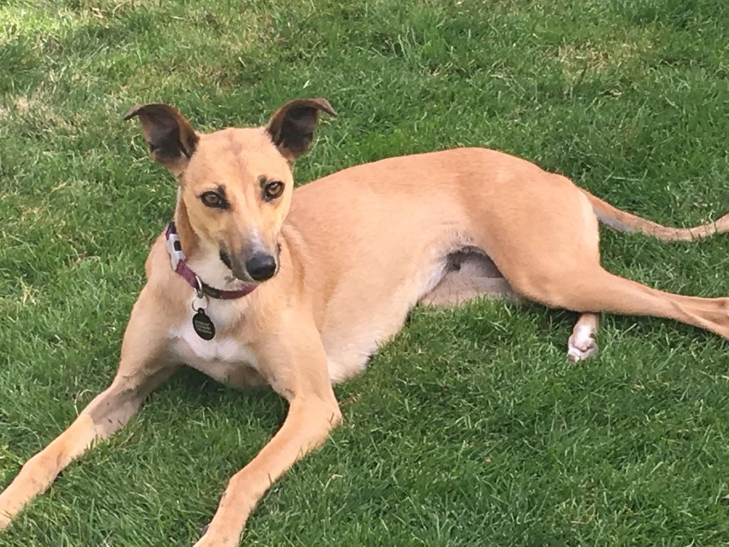 Faye is our latest arrival from Ireland.  She is about 22 inches to the shoulder so quite small.  Her foster mum says….. Very puppy like in lots of ways. She is quite pushy for attention (but very sweet), I think she will be very trainable as she wants to please #k9hour #TeamZay