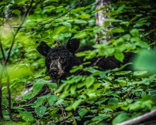 Bear necessities . . #offthechaingram #shotz_fired #fatalframes #heatercentral #thecreatorclass #ourmoodydays #visualambassadors #artofvisuals #optoutside #virginiaisforlovers #shenandoahnationalpark #shenandoahnps #bear #nationalparks #shennps