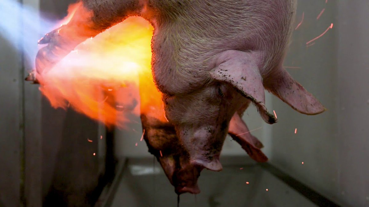 """""""You know what's more insane than slaughterhouses?  Meat eaters. Walking around, acting like their lifestyle isn't causing any harm."""" - Gary Yourofsky.  GoVegan🌱🌍  #Vegan #GoVegan #Animals #Antispeciesism #Pets #farm365"""