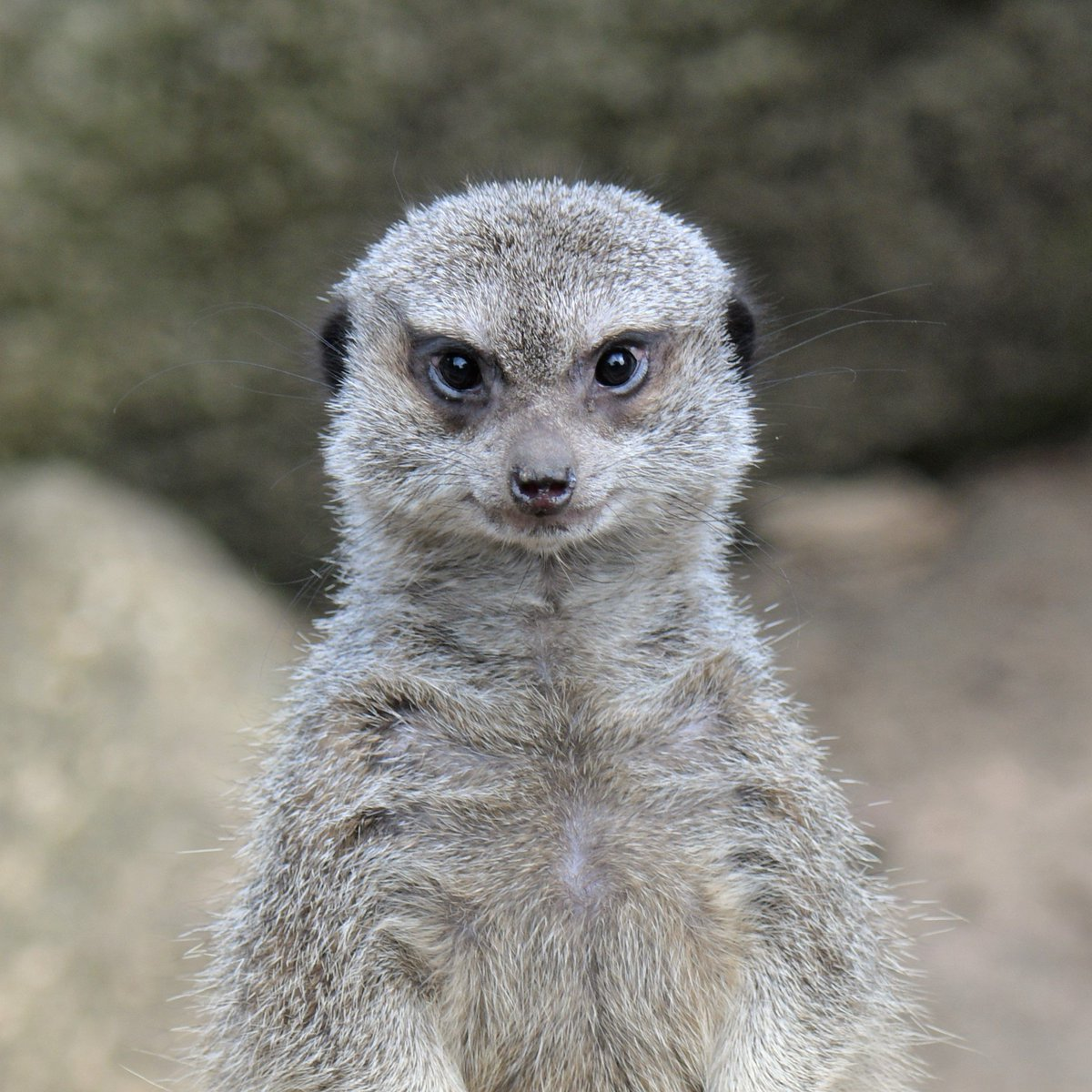 井の頭のミーアキャットはとてもキリっとした顔をしています#井の頭自然文化園