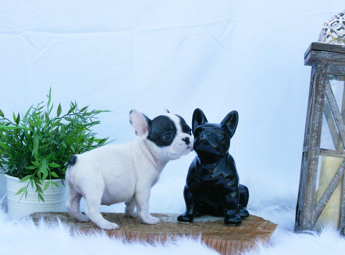 French Bulldog Puppies Puyallup