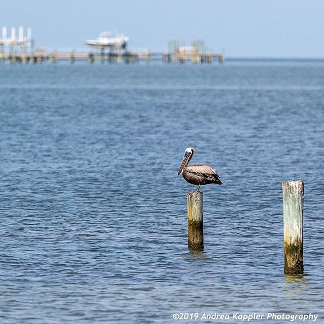A brown pelican chilling on a post in Apalachicola Bay. 🌴🌞 . . . . #brownpelican #brownpelicans #seabirds #floridapanhandle #andreakapplerphotography #birdwatching #birdphotography #birdinginflorida #stgeorgeislandfl #stgeorgeislandflorida #pelicans … https://ift.tt/2XZ5FNR