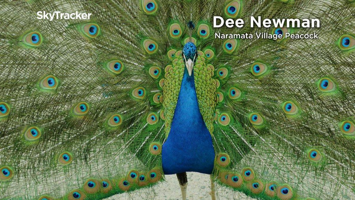 What a sight - the #Naramata village peacock dazzled Dee's eyes so much that she shared this shot with us! @GlobalOkanagan http://trib.al/Fwo9i9R #Kelowna #Vernon #Penticton #Okanagan