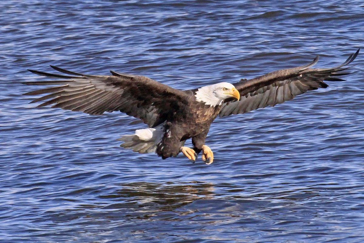 RT @TodaysBaldEagle: (Photo courtesy of Paul Dacko) #baldeagle #birdsofprey #raptors https://t.co/KqD36BmR5X