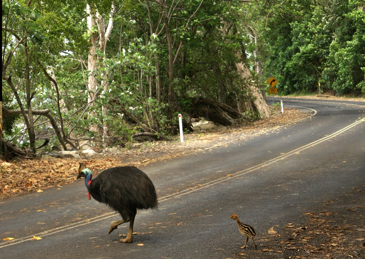 Cassowaries, Mabi & littoral forests are winners in our new $1.9M project to boost #rainforest resilience: https://t.co/PdZjIwf3Tp. Funded by the Aust Govt's National Landcare Program. Pic: Liz Gallie #cassowary #NLP #landcare @envirogov @AusLandcare @sussanley @TSCommissioner https://t.co/imNlTfJcJ3