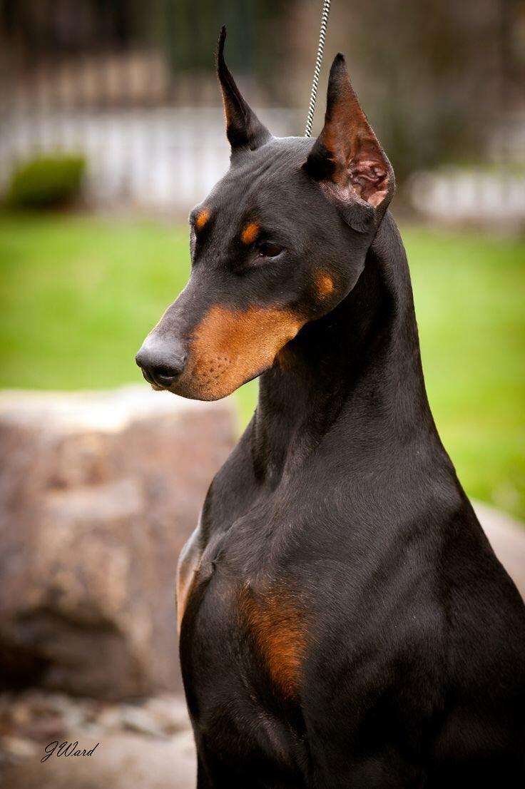 Смотреть картинки собаки добермана