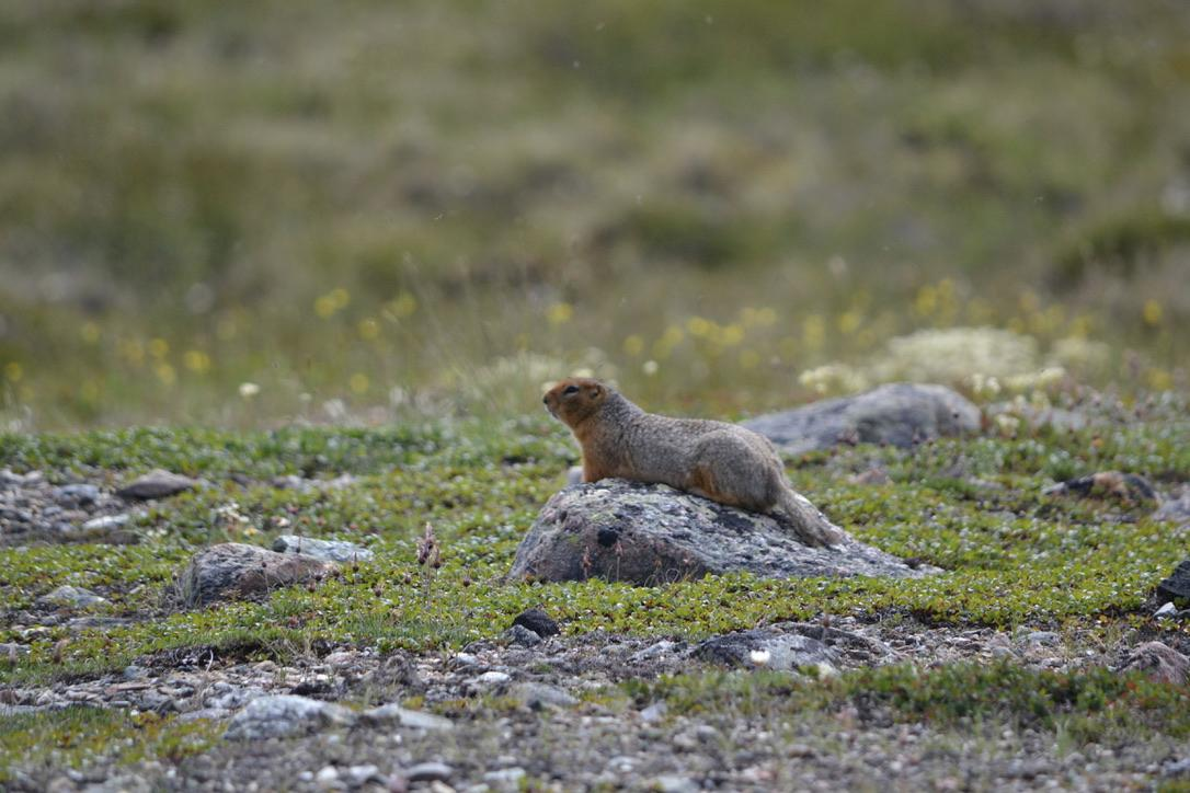 @Julie_B92 I call this Siksik/Arctic Ground Squirrel 'Simbasquirrel on Pride Rock' because of reasons.