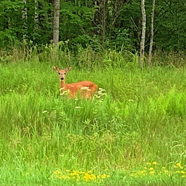A lucky capture as we were driving by.....gotta have your camera ready at all times😁 #mooselake #bigmooselake #deer #grassyfield #doe #nature #naturephotography #seniorswithlatitude https://t.co/IZ7zXXB0kC https://t.co/WwAgCtt2vi