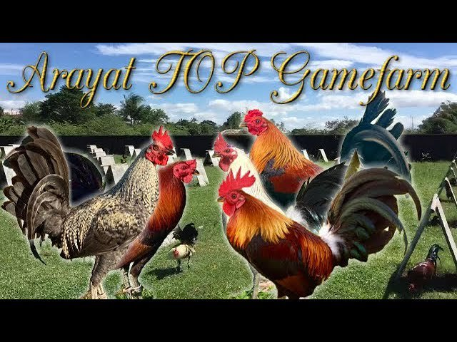 gamefowl hashtag on Twitter