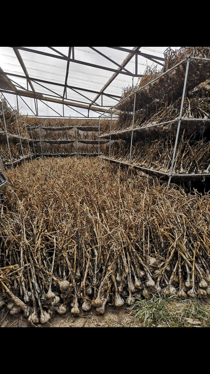 You want garlic well folks we got garlic here's a wonderful picture of our second drying shed two more to fill everything at Drummond is done by hand any chefs free for harvest we would love to have you in the fields 🤠🚜 https://t.co/p0uVfYR2p6