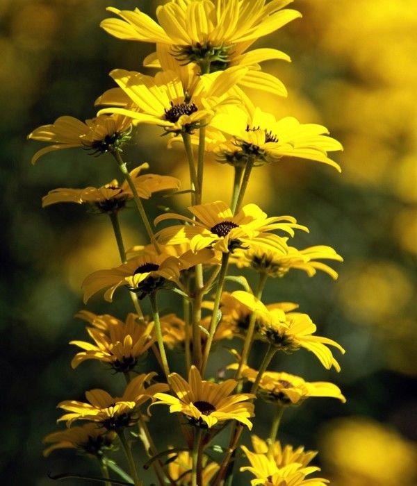 Все о цветке подсолнечник иволистный фото