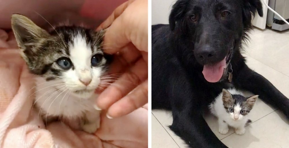 Woman went to walk her dogs but came home with a kitten who needed help. See full story and updates: lovemeow.com/kitten-stray-r…