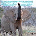 Image for the Tweet beginning: Happy #EleFunFactFriday!  One way elephants gauge