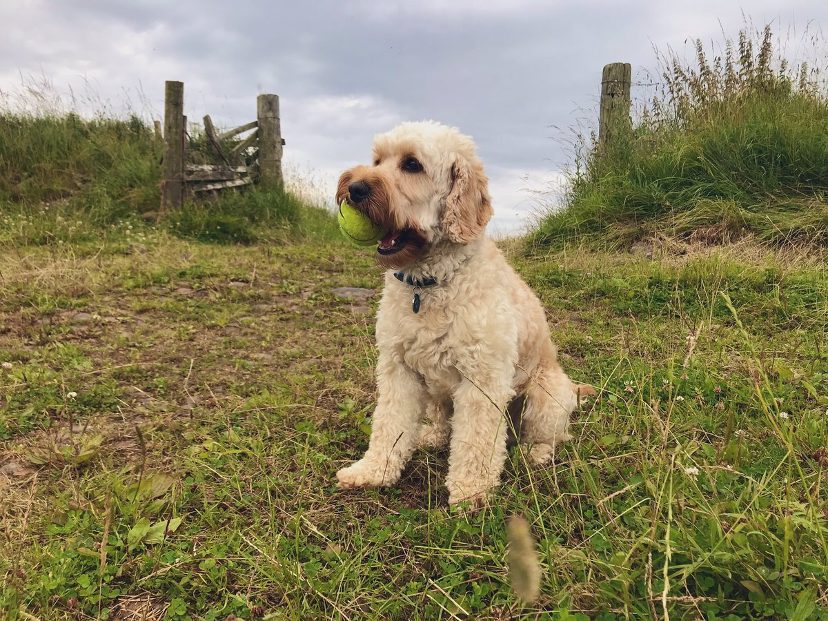 Goldendoodle Read Theory