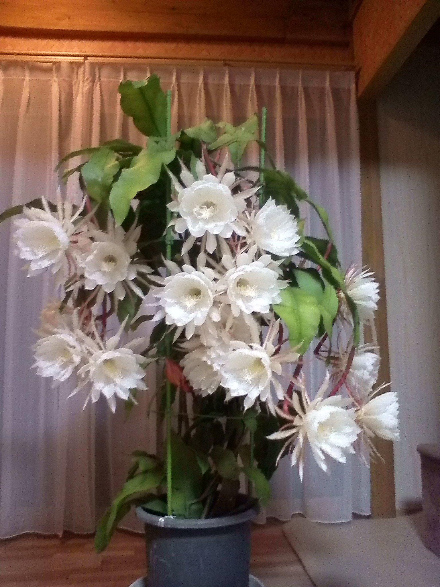 お母さんが育てた月下美人すごいことになってるらしい。18輪一度に咲いたらしい。お母さんすごい。