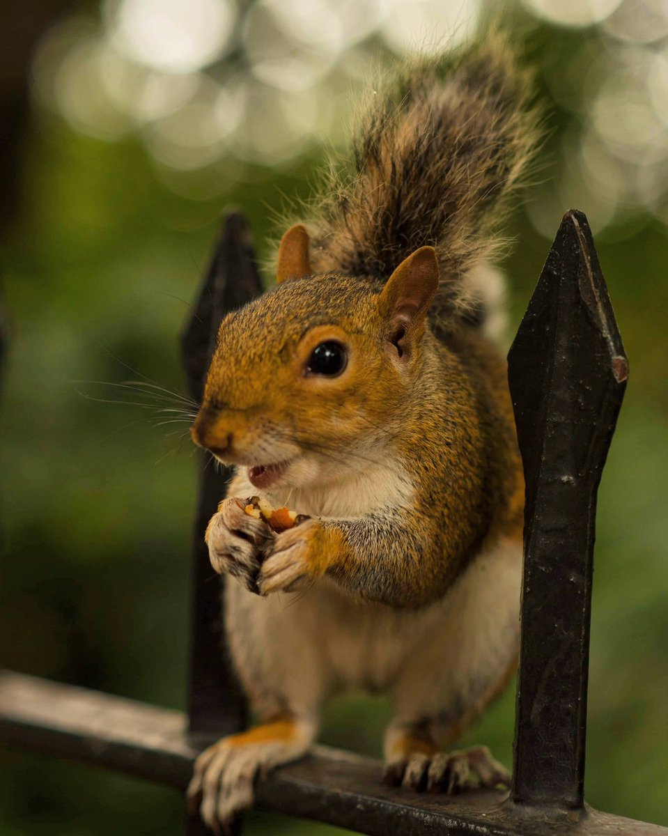 Portrait of a ! #squirrel #squirrels #animal #animallovers #naturephotography #naturepic #nature #orava #ekorre #photography #travelphotography #djur #eläin #kurre #squirrelsofinstagram #squirrelphoto pic.twitter.com/T6DONWxT23