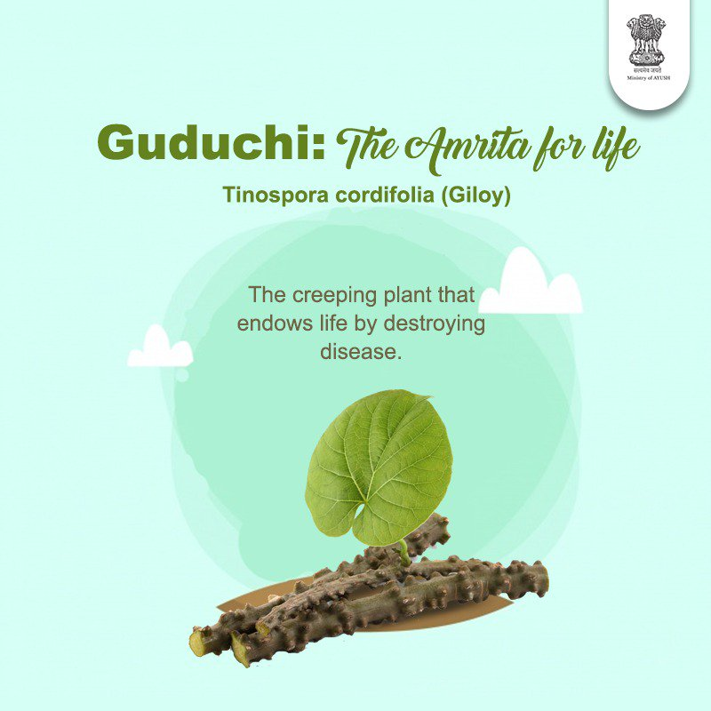 "Amrita (Tinospora cordifolia) is one of the most highly valued herbs in Ayurveda. It is commonly found in different parts of the country. Popularly known as ""Guduchi or Giloe"", it is widely used in the treatment of various diseases in traditional ayurvedic practice."