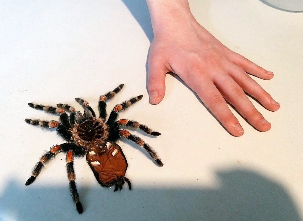 Lola my Red Knee tarantula moulted. Here's her moult next to my son's hand (son is 19). Big #tarantula #bsmithi #brachypelmasmithi #MexicanRedkneepic.twitter.com/y0eJWb7P5q