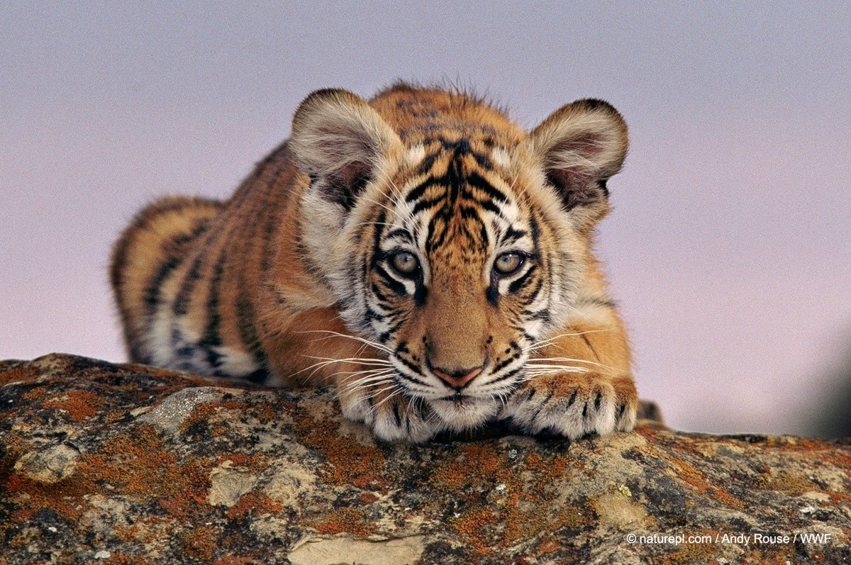 Some #PositiveNews on #InternationalTigerDay The Government of India announced today a new wild tiger estimate. The last census – conducted in 2014 – estimated India's wild tiger population at 2,226. Today, on #GlobalTigerDay India is happy to report the new estimate is 2,967.