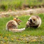 キタキツネとエゾタヌキのケンカ!戦うときにも個性が出てる!