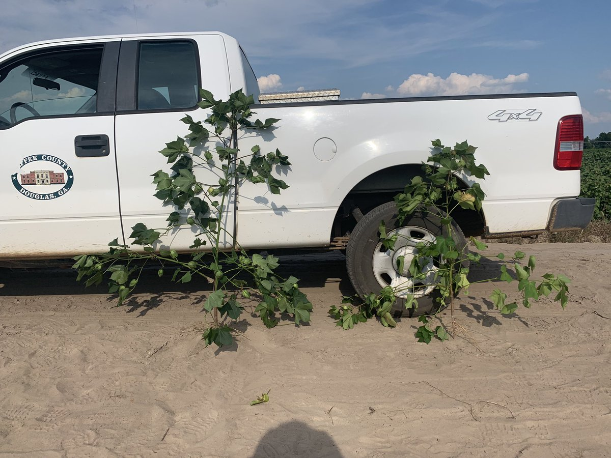 Farmers are you noticing a height difference in your cotton? A foliar app could correct the issue, but not guaranteed. We suggest a soil along with a tissue sample for analyzation from the high and low areas in your field. Contact your local Ext. office for more info. #crop19 <br>http://pic.twitter.com/ERkulNLJC4