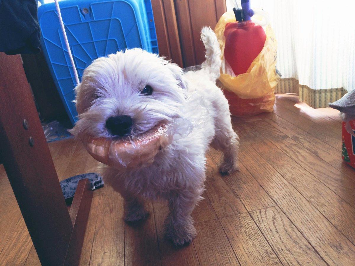 今は亡き人生最高の相棒、ベル君のベストショットを公開しようじゃないか。  ほんまに食いしん坊な犬だったなあwww  #犬好き #ウエスティ #泥棒犬 pic.twitter.com/dQ3WWKJLti