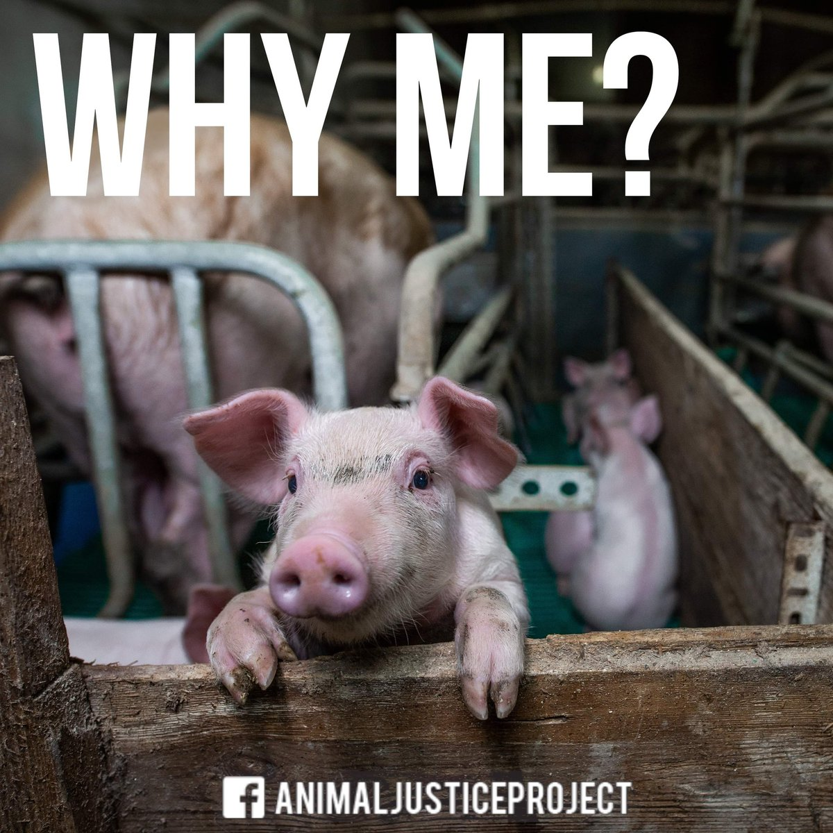 """""""Animals on factory farms all face pain and fear, just like the animals we share our homes with, yet are repeatedly abused in shocking ways."""" - Peter Dinklage Help us continue fighting for all animals by donating here: animaljusticeproject.com/donate #charitytuesday"""