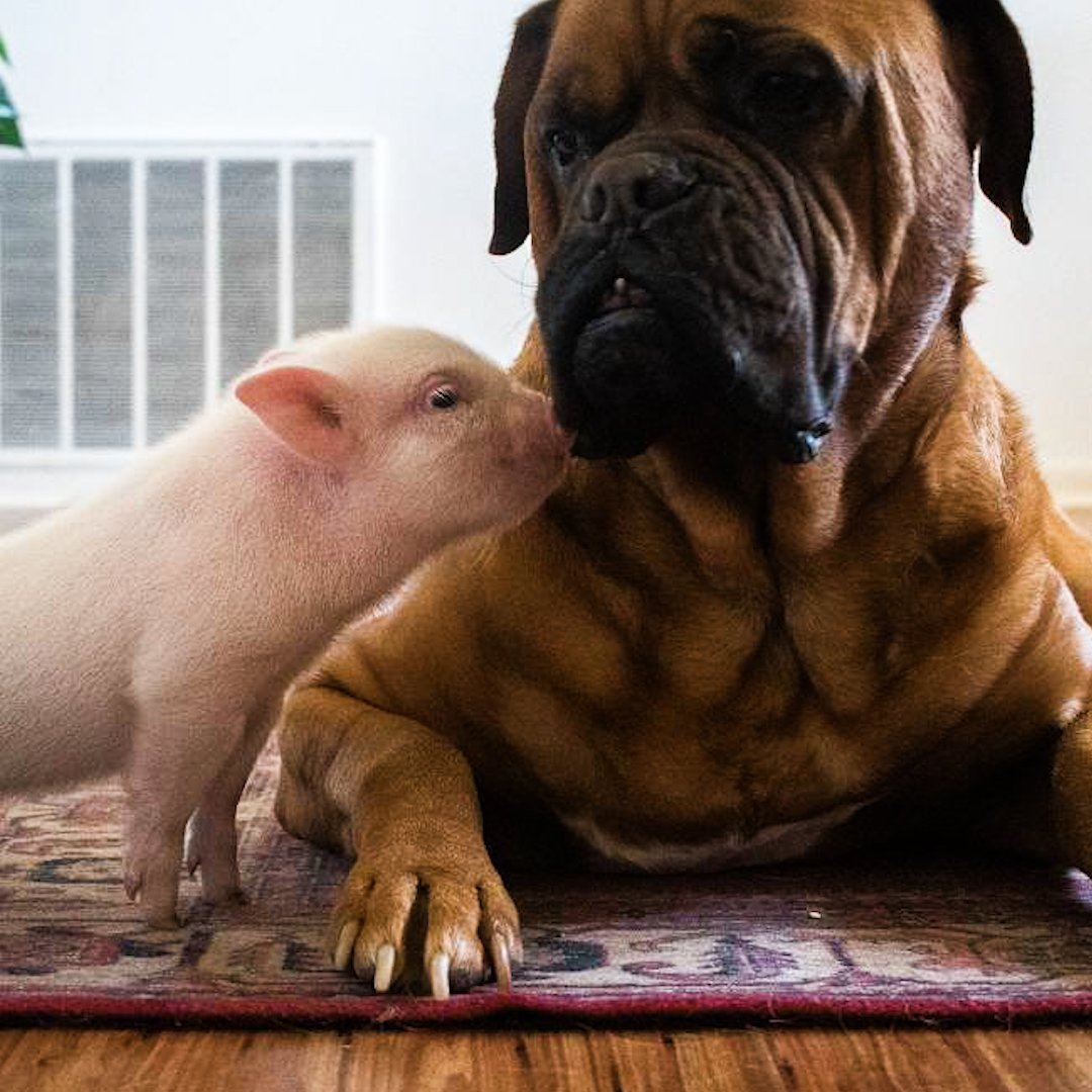 Watch this 135-pound dog fall in love with a tiny piglet 😍