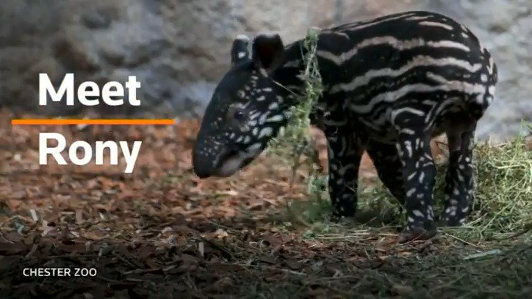 ICYMI: A rare Malayan tapir was born in Englands Chester Zoo as part of its conservation program