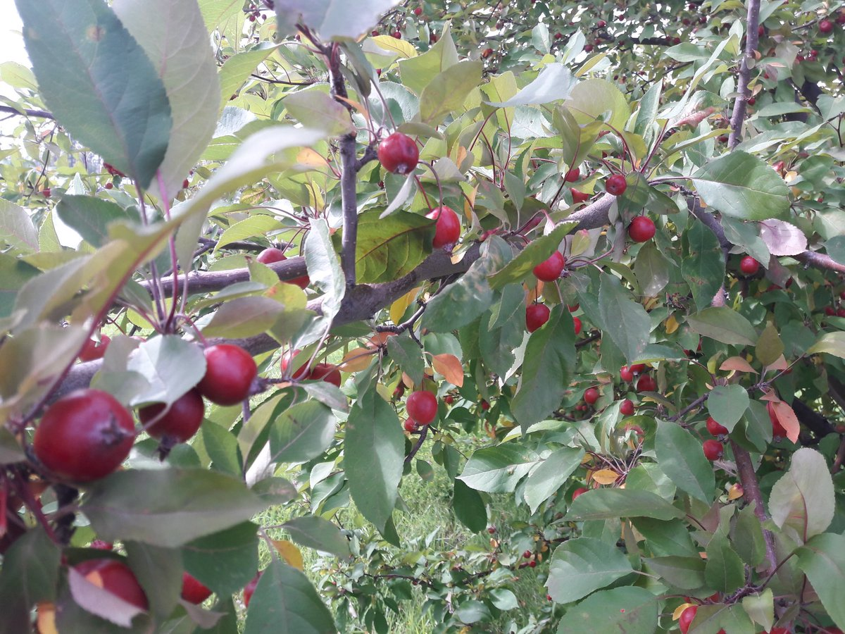 сакура плоды фото и описание растение