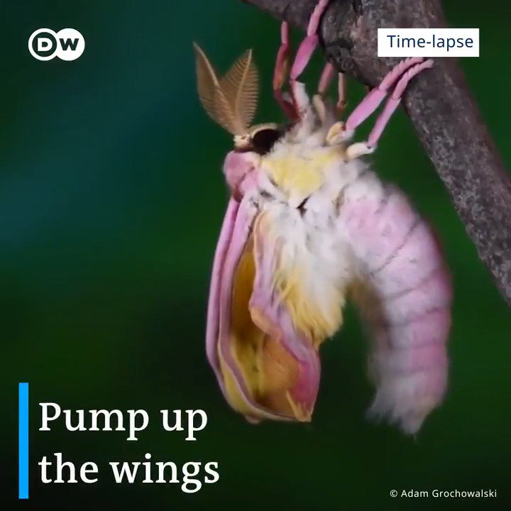 🎞  What's the first thing a butterfly (or a moth) does after hatching out of the pupa? 🐛🦋#DYK