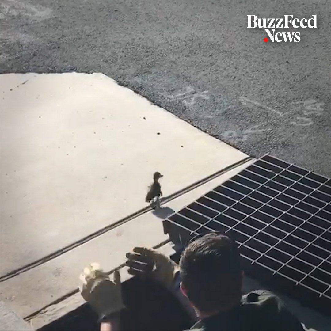 This police officer jumped into a storm drain to rescue baby ducks 🐣