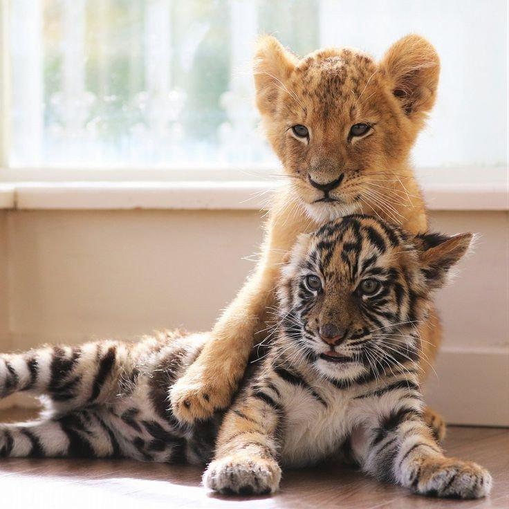 картинки львят и тигрята ищете прозрачные изображения