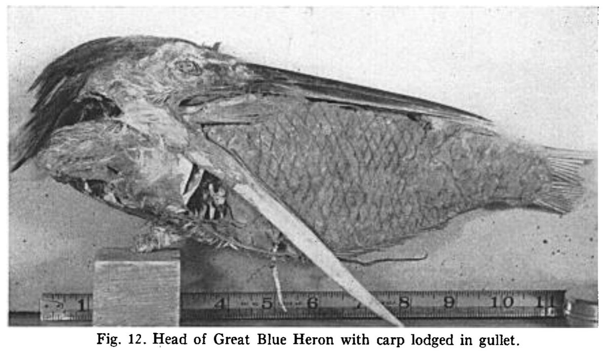 Today's post by @AmOrnith resolves the #BirdVsFish debate once and for all