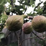 Image for the Tweet beginning: Figs. Easy to grow. Great