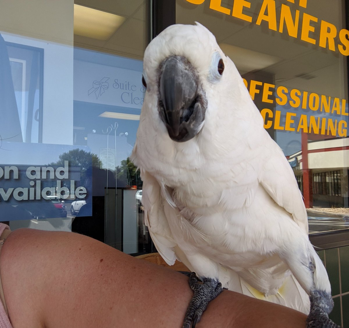 Today, I met Shyla. A female Cockatoo that made me laugh. Even though she's not a dog, it made me think of @IvePetThatDog because of how happy she made me. #messyhair #cockatoo #funnybird https://t.co/pYEPjGM1qk