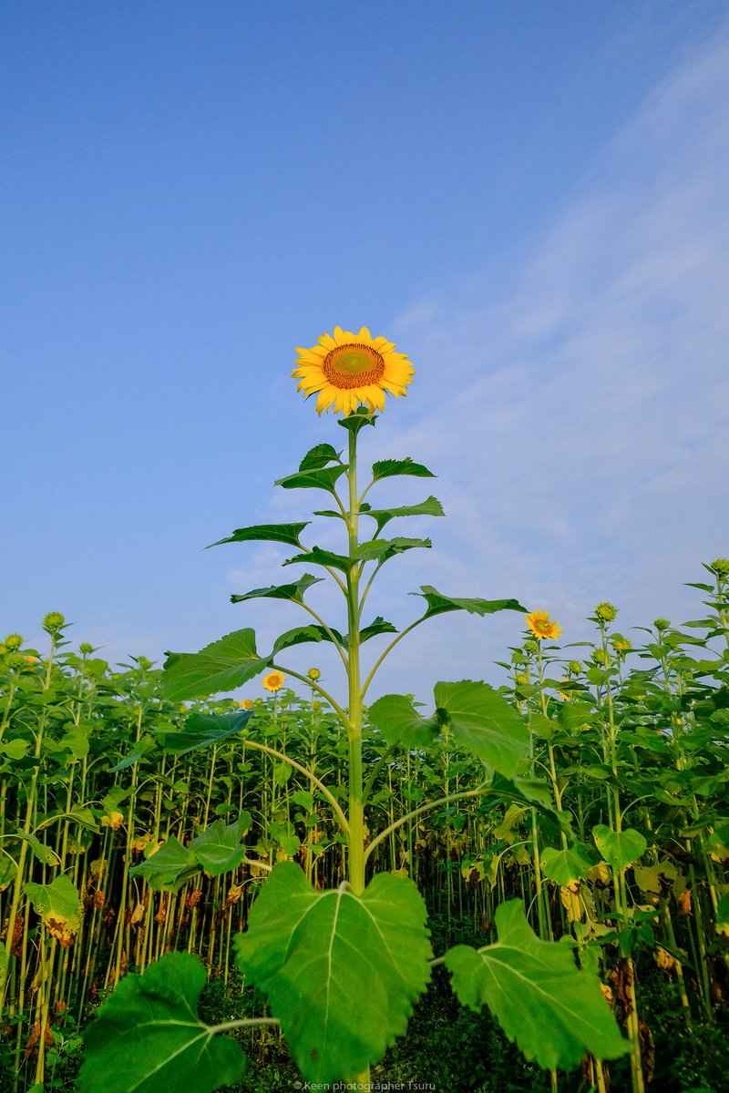 Tsuru على تويتر 松本大学横 ひまわり畑のひまわり スマホ壁紙用