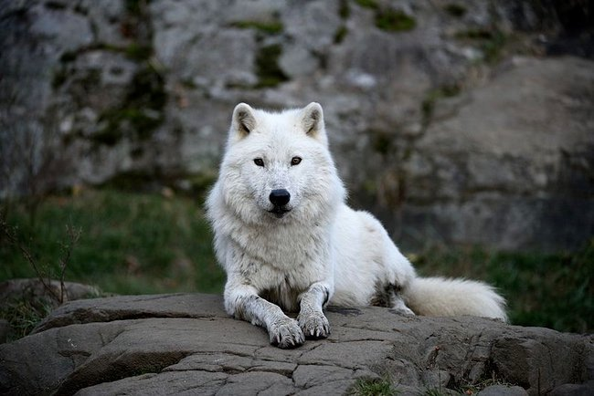 Is the wolf your spirit animal? Long revered by Native
